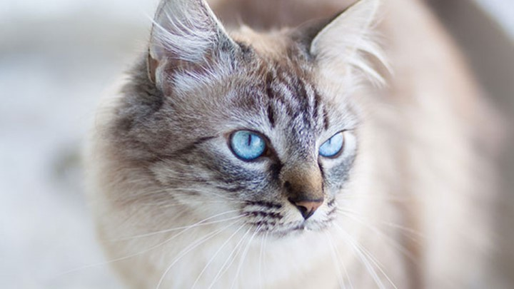 Deafness And Blindness In Cats Pet Advice Medivet Uk