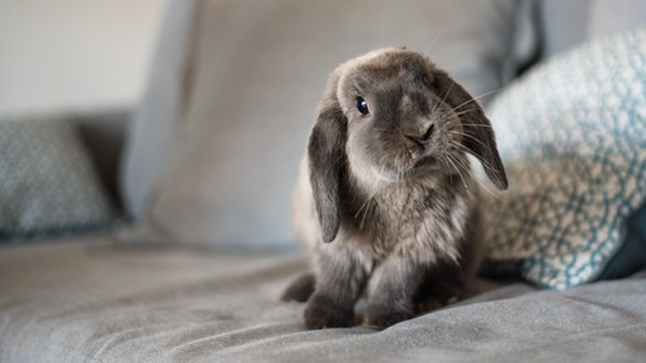 Curious rabbit on sofa