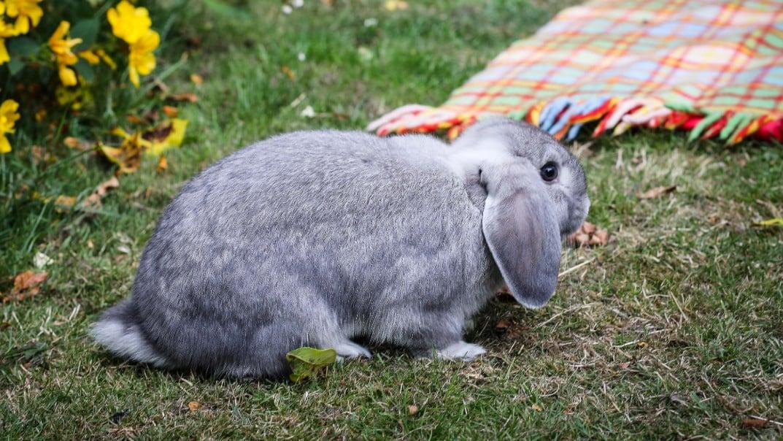Flystrike in rabbits | Pet Advice | Medivet