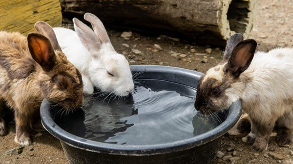 Rabbits drinking water together