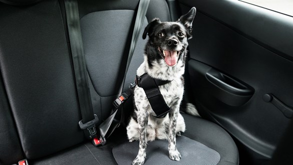 dog in a car with a seatbelt