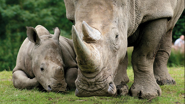 Rhino mother and baby in the wild