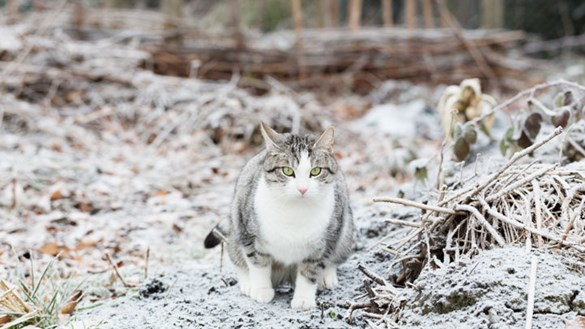 Care For Outdoor Cats In Snow Icy Conditions Medivet
