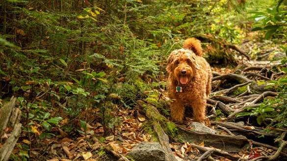 Brown fluffy dog walking outside in the woods