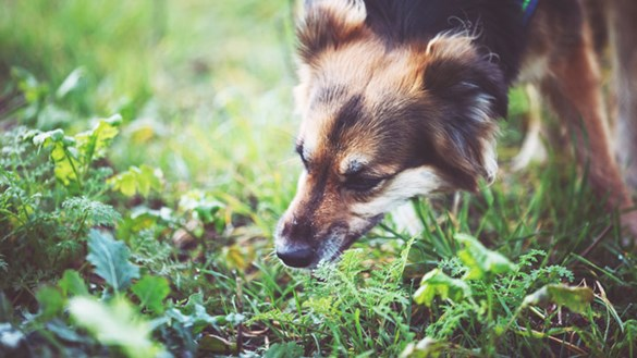 Brown dog sniffing grass outside