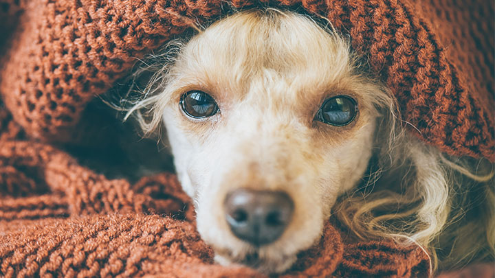 Dogs In Winter Caring For Dogs In The Cold Medivet