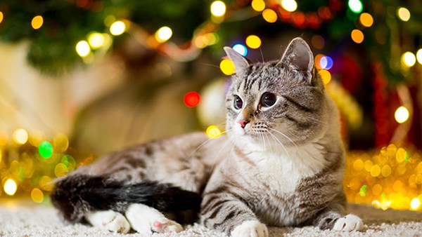Cat sits looking at decorations