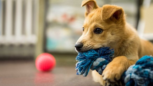 Puppy with rope and ball