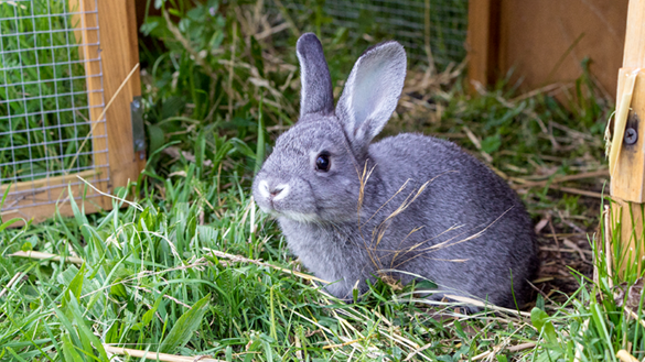 Rabbit beside hutch